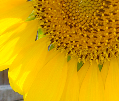 Closeupsunflower