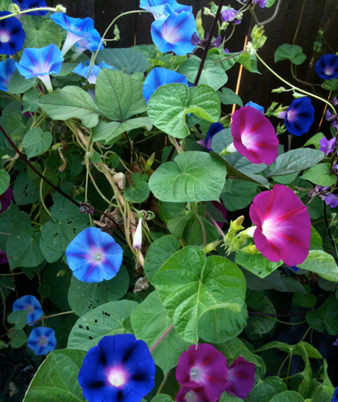 Morningglories
