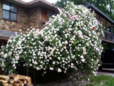 Grandmas-roses